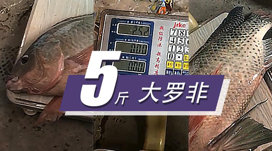 """四五斤的罗非随便刷 这支""""鱼池霸道""""2.7m真的很硬气!"""